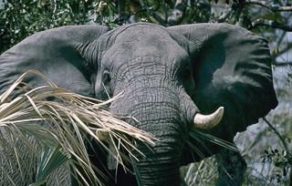Elephant approaching on safari