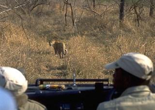 Stalking a leopard on safari