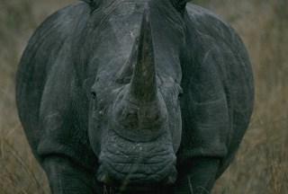 Advancing hippo in Kenya