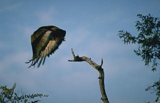 Bateleur eagle safari