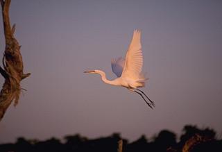 High flying stork Okavango Delta