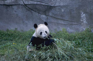 Panda at sanctuary Chengdu China