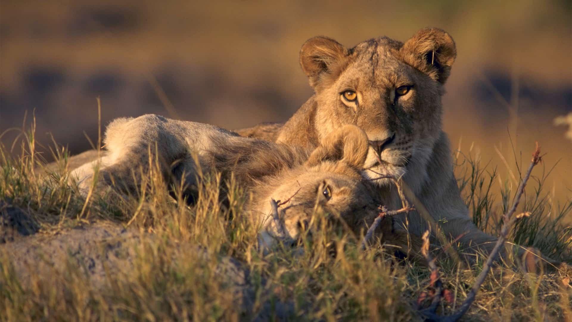 Pair of lions safari Africa